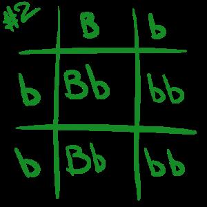 punnett-square-2